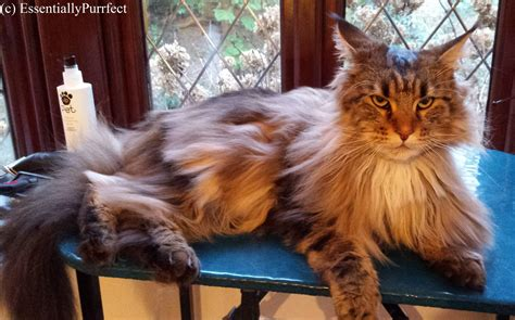 pretty eloise – Mobile Cat Grooming Chorley Lancashire by