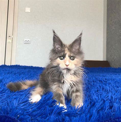 50 Cute Maine Coon Kittens That Are Future Giants In The