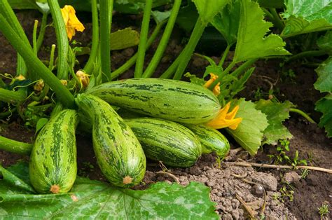 Growing Squash Plants | General Planting & Growing Tips