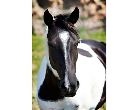 Items similar to Horse Portrait Wild Mustang Paint Horse