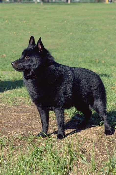 Schipperke Dog Breed Info: Pictures, Personality & Facts