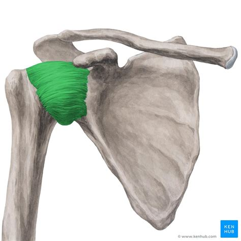 Joints and ligaments of the upper limb: Anatomy | Kenhub
