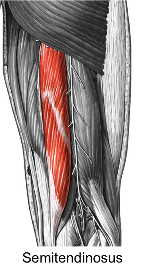 anatomy muscles - Biology 1011 with Marion at University
