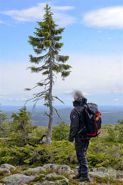 9,500-Year-Old Tree Found in Sweden Is The World's Oldest
