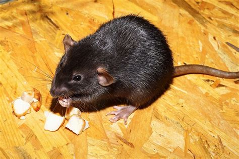 What Does It Mean to Dream about Mice? Discover Its