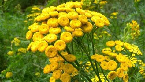 Tansy Herb Uses, Side Effects and Health Benefits