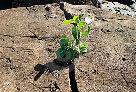 Small Plant Breaking Through A Rock Royalty Free Stock