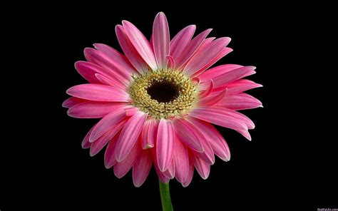 Beautiful Pink Daisy Wallpapers | HD Wallpapers | ID #5748